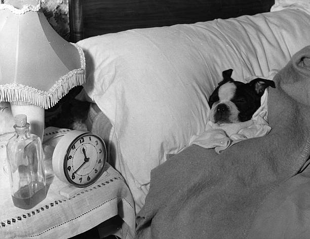 Bart, a young Boston Terrier, asleep in his owner's...