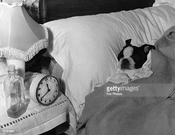 Bart a young Boston Terrier asleep in his owner's bed after spending six months in quarantine Bart was brought into the country from Canada by RSPCA...