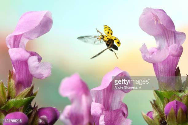 22-spot ladybird (Psyllobora vigintiduopunctata) in flight, between pink flowers, Germany