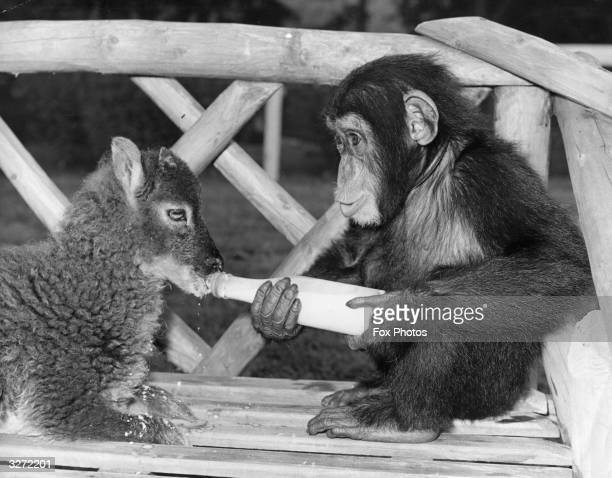Chimpanzee bottle-feeds a lamb at Southam Zoo Farm in Warwickshire. The owners of the zoo, Mr and Mrs Clews, bring up many of the animals as their...