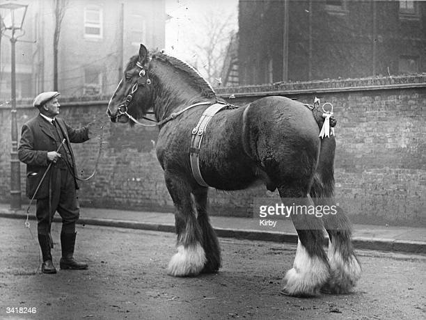 A Shire Horse groomed for a show at the Royal Agricultural Hall Islington