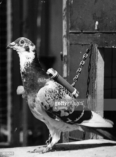A pigeon in the Mobile Section of the Army Pigeon Service used to carry messages in Africa harnessed with a 'back carrier'