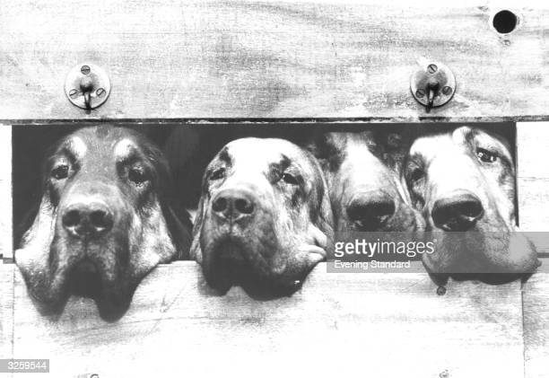 Four bloodhounds participating in Windsor Forest Hunt