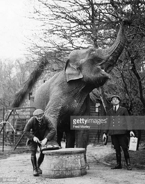 A keeper at Whipsnade Zoo cleans an elephant's toes The elephant is apparently ticklish and enjoys it