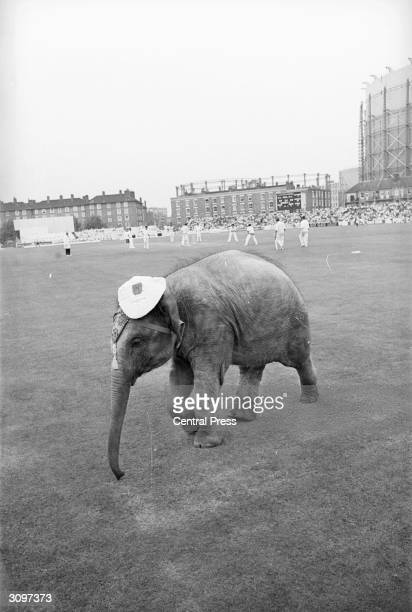 Bella an Indian elephant from Chessington Zoo in the outfield at the Oval where England were playing India