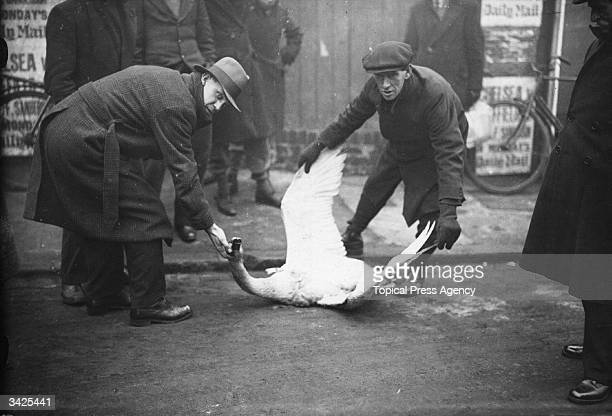 A swan killed by a car in the thick fog outside Stamford Bridge London The bird had landed in the road exhausted by flying in the bad weather...