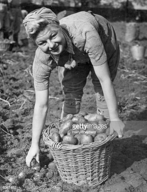 A woman in the Land Army harvesting potatoes on land belonging to the Milk Marketing Board