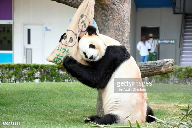24yearold giant panda Eimei leans on a bag containing bamboo leaves which is presented as a gift on the Father's Day at Adventure World on June 18...