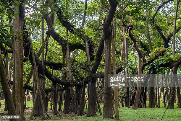 A 250year old largest banyan tree known as the world's largest in the Botanical Gardens in Kolkata India