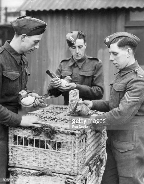 The men of a Royal Corps of Signals unit place carrier pigeons in baskets before delivering them to various destinations where they will be used by...