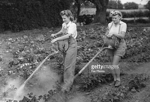 Two farm workers spray a field of runner beans with powder insecticide on the Overbury Farms estates Worcestershire