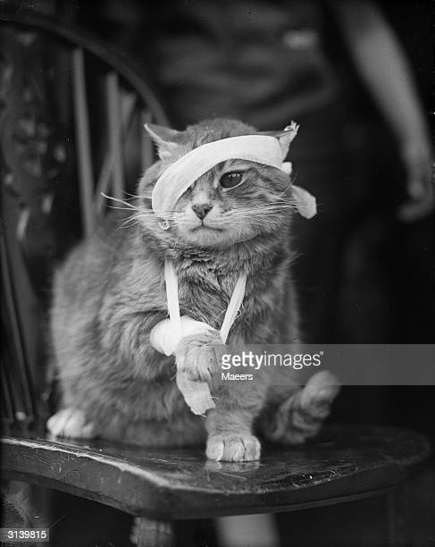 Bandaged cat recovering from its injuries.