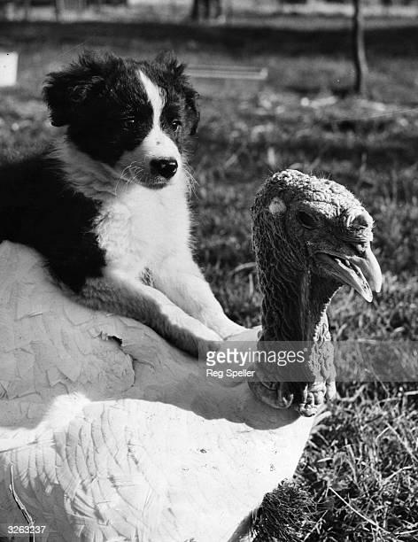 A puppy sitting on his turkey friend's back