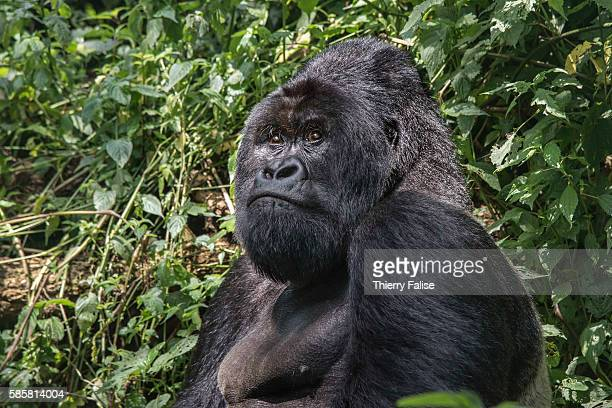 A 25year old silverback mountain gorilla sits in the jungle of the Virunga National Park The primate shares 98% of its DNA with the human being...
