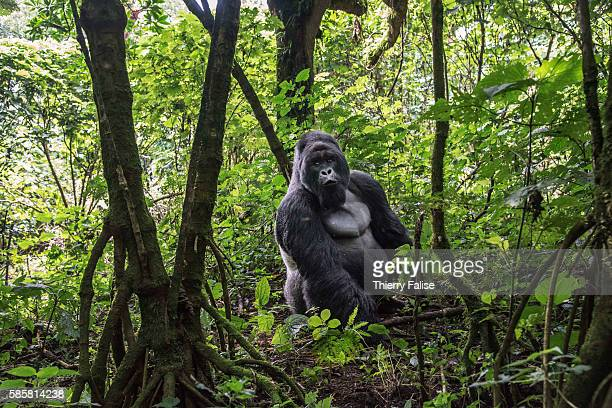 Year old silverback mountain gorilla sits in the jungle of the Virunga National Park. The primate shares 98% of its DNA with the human being. Virunga...