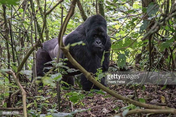 Year old silverback mountain gorilla walks in the jungle of the Virunga National Park. The primate shares 98% of its DNA with the human being....