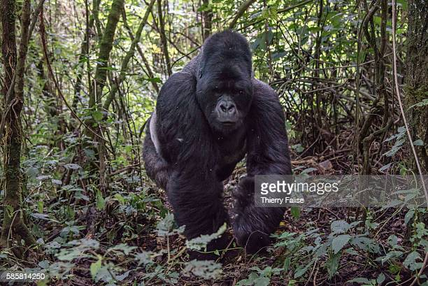 A 25year old silverback mountain gorilla walks in the jungle of the Virunga National Park The primate shares 98% of its DNA with the human being...