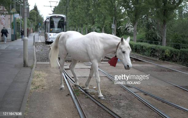 25yearold horse named Jenny crosses the railtracks of the tramway as she takes her daily walk in Fechenheim near Frankfurt am Main western Germany on...