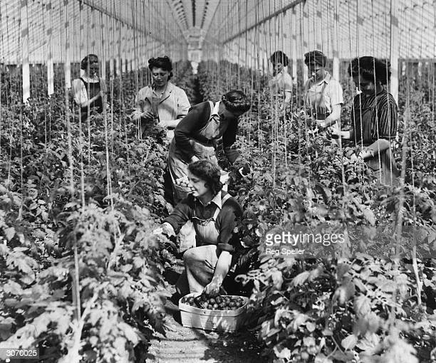 Girls collecting tomatoes in the glasshouses at a Nursery in Essex