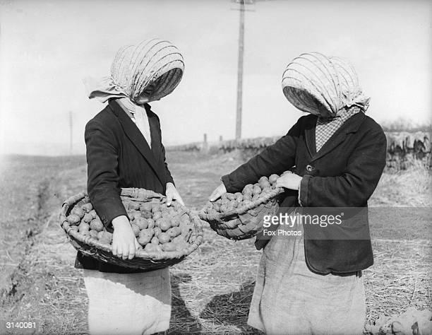 Girl farm workers picking potatoes at Straiton near Edinburgh still wear old fashioned workers' headdresses