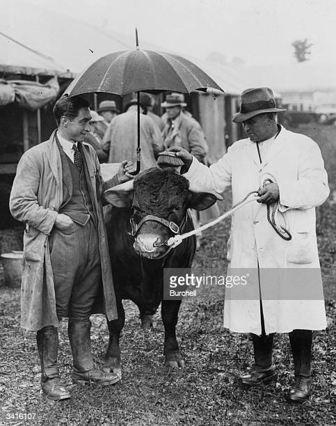The King's Devon Bull 'Climsland Dazzler', being groomed under an umbrella before taking second prize at the Bath and Weston Show at Trowbridge,...