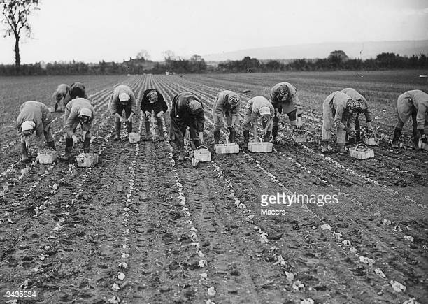 Land girls planting lettuce at Springfield Farm Fladbury Worcestershire