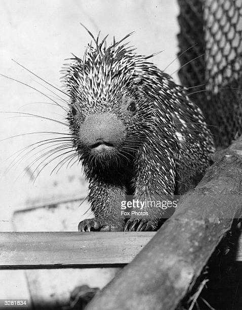 A Brazilian spiky porcupine shortly after its arrival at London Zoo