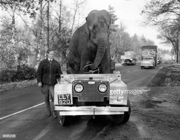 'Kam' an elephant from Bertram Mills circus 'drives' a Land Rover along a road during training for the Christmas Show
