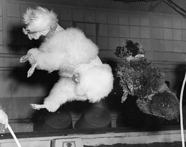 Skipping poodles from the Bertram Mills circus in training...