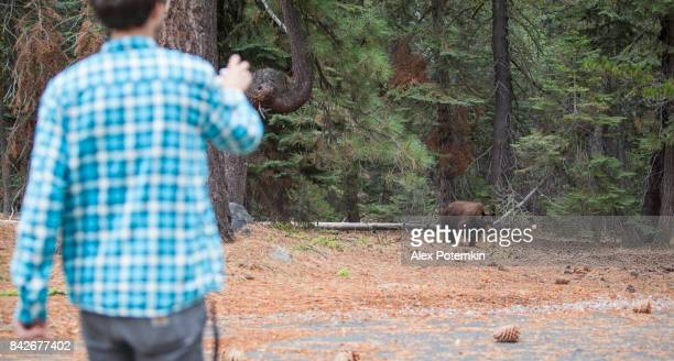 27-years-old man, tourist,  filming the young wild black american bear in the forest in Yosemite National Park
