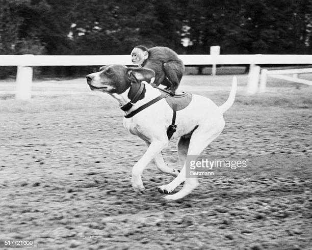 2/8/53Pinehurst North Carolina Mickey the monkey acts the spirited jockey as he guides his mount Rex the pointer around the turf at Pinehurst They're...