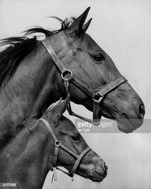The Queen's racehorse, 'Asturia' at Newmarket with her newly born filly.
