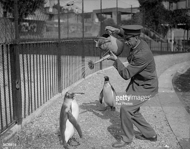 Zoo keeper gives a penguin a shower from a watering can.