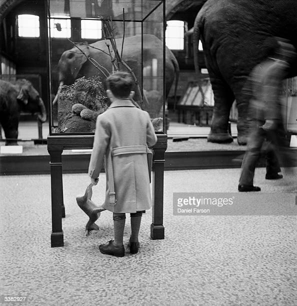 Young boy examines an exhibit in a glass cage in the elephant room in the Natural History Museum, London. Original Publication: Picture Post - 6432 -...