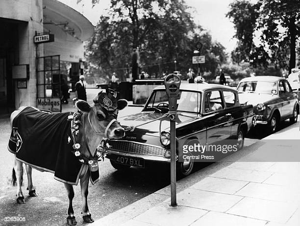 Tied to a parking meter in London's west end is Winnie Wilts a pampered pedigree Jersey cow who is the mascot and leading lady of Wilts United...