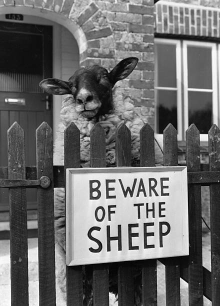 Shambles the Sheep stands guard at his owner's gate,...