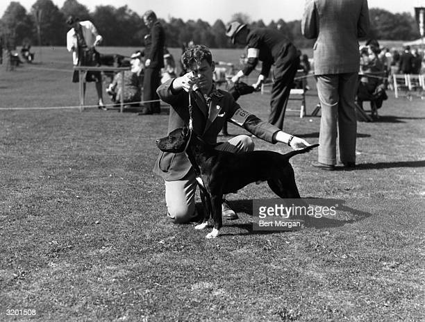 Handler Tom Gately crouches while holding the leash and straightening the tail of 'Bett's Clink,' a Staffordshire terrier, at the Suffolk county...