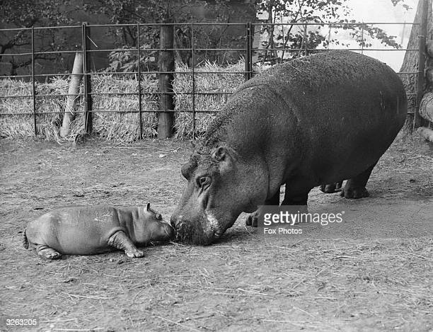 'Belinda' the hippo and her baby the third to be born at Whipsnade Zoo