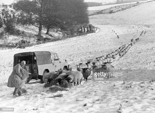 A Cotswold farmer feeding his flock of sheep at Northleach Gloucestershire