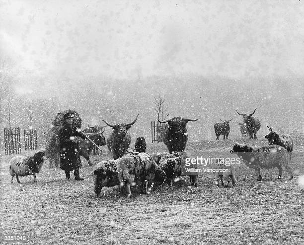 Keeper Harry Stevens carries fodder for some of the sheep and cattle during blizzard conditions at one of the enclosures at Whipsnade Zoo