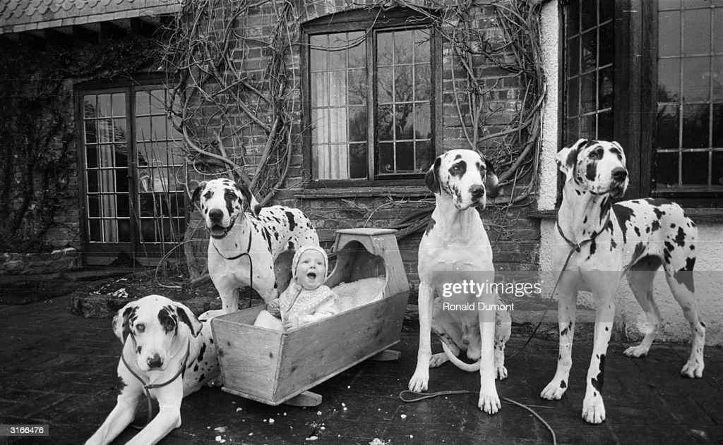 Fifteen month old Noah Le Mare sitting up in his cot surrounded by a group of Harlequin Great Danes.