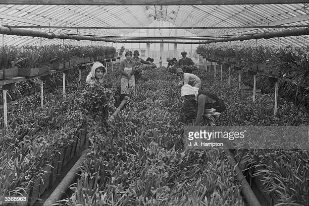 Workers picking some of the daffodils at a nursery in Spalding Lincolnshire to be sold in London markets