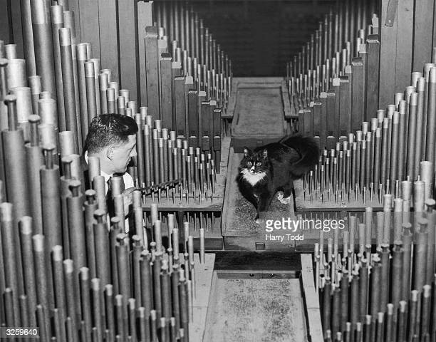 One of three cats who live inside the organ at the Royal Albert Hall