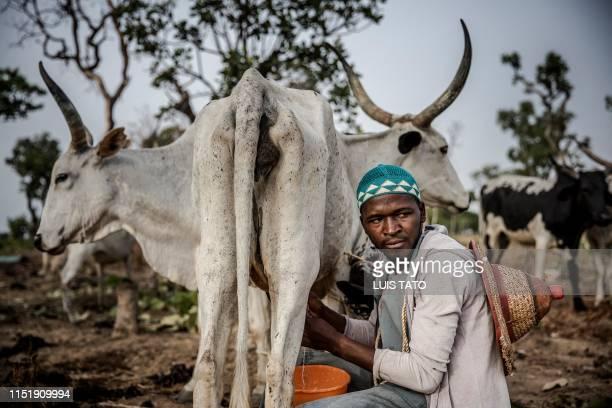 30yearsold Fulani herdsman Isa Ibrahim milks one of his cows at Kachia Grazing Reserve Kaduna State Nigeria on April 16 2019 Isa Ibrahim is a Fulani...