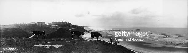 A herd of cattle grazing in a field by the sea at Saltburn in North Yorkshire