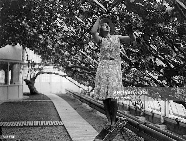 Woman taking clippings from the grapevines at Hampton Court Palace, south-west London.