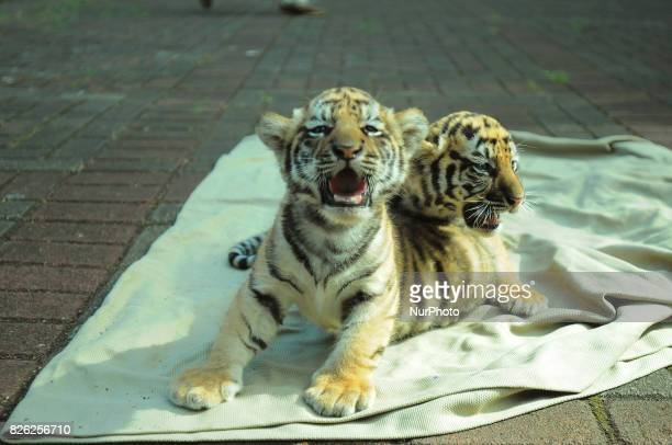 39day Bengal tigers babies were introduced to the public at Bandung Zoo West Java in August 42017 Two Bengal tigers born in Bandung Zoo are born from...