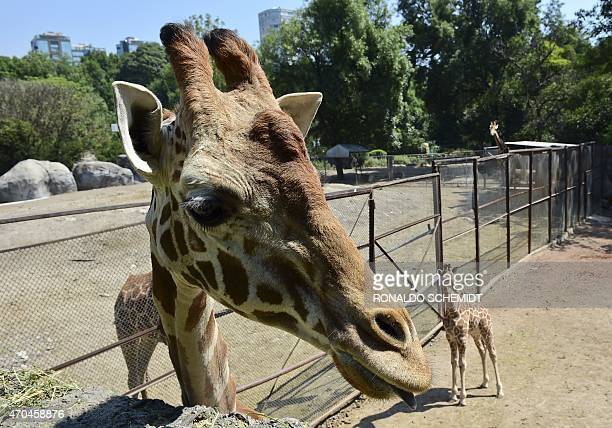 A 39dayold giraffe is pictured next to its mother at the Chapultepec zoo in Mexico City on April 20 2015 AFP PHOTO/RONALDO SCHEMIDT