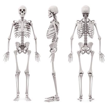 3d human skeleton on white background 510478272