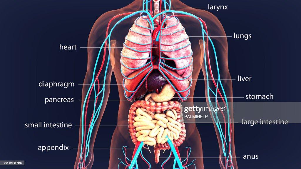 3d Abbildung Menschlichen Körper Organe Ausbildung Körpersystem ...